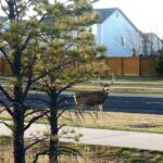 Wildlife Wednesday: Close encounters with mule deer
